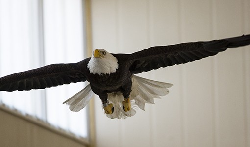 Rehabilitated Bald Eagle Soars Again In Central Massachusetts