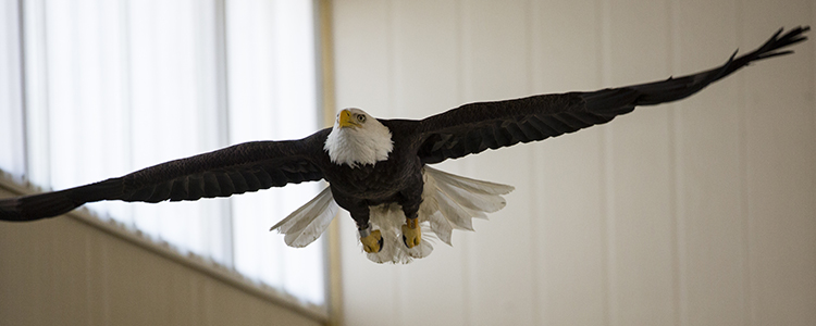 03/08/2016 - Grafton, Mass. - A bald eagle spends its last moments in the flight cage at theWildlife clinic of the Cummings School of Veterinary Medicine at Tufts University before being released into the wild on March 8, 2016. In January, the six-year-old male eagle was found with an injured shoulder. (Alonso Nichols/Tufts University)