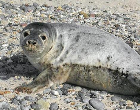 Grey seal. Photo from a-z-animals.com