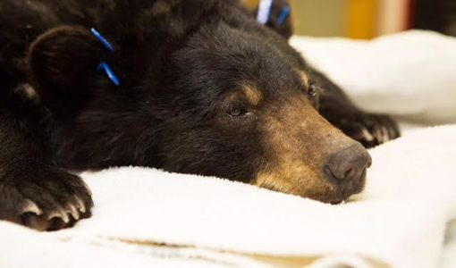 Black bear found in Berkshires garage is set free