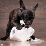 Black Boston Terrier puppy chewing on a toilet paper roll