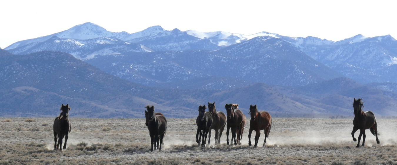 One View: BLM should use PZP to rein in wild horse population