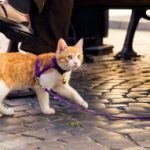 orange and white cat wearing a cat harness