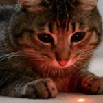 cat_laser pointer