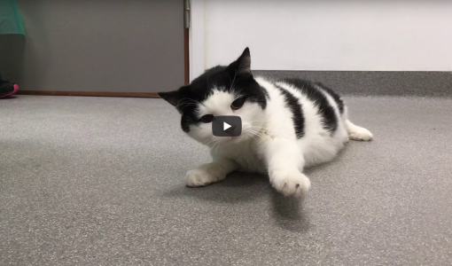 Clinical Case Challenge: Feline with Severe Neurological Signs