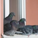 © Lyubov Demus | Dreamstime  In places where pigeons like to roost, their feces can steadily accumulate, and the Cryptococcus organism can remain viable for years.