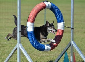 dog jumping through hoop