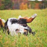 dog rolling in grass