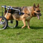 dog with harness carriage