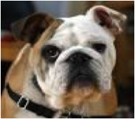 Get the facts about Brachycephalic airway syndrome