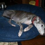 dogs with bone cancer