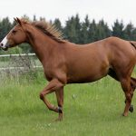 Portrait of a running American quarter horse