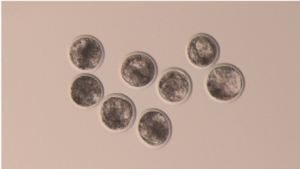 Embryos from IVF at blastocyst stage.
