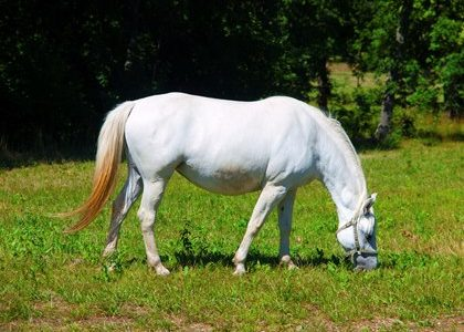Laminitis Survivors: Getting Back on Grass?