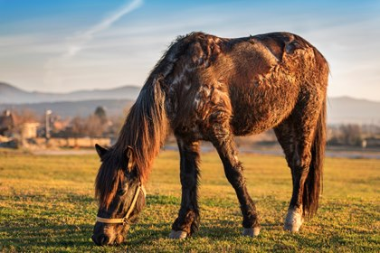 Feeding Horses with Endocrine Disorders