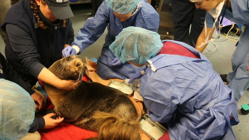 The Tricky Science of Brain Surgery on an Adorable Fur Seal