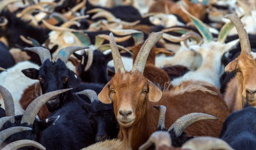 The War Against 'Goat Plague'