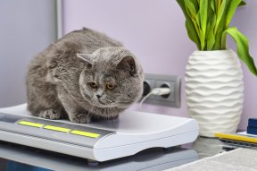 Helping Your Cat to Lose Weight