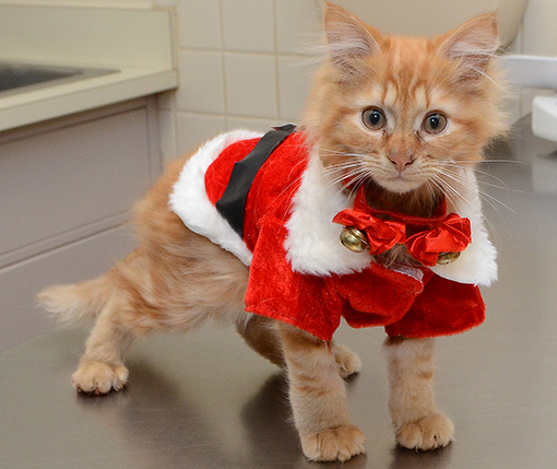 Cat in Santa suit
