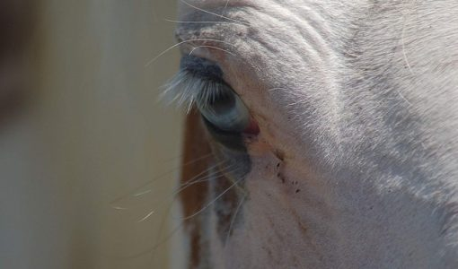 Equine Clinical Case Challenge: Swollen Third Eyelid