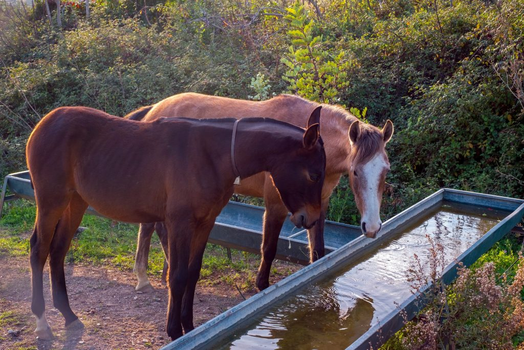Two horses drinking water