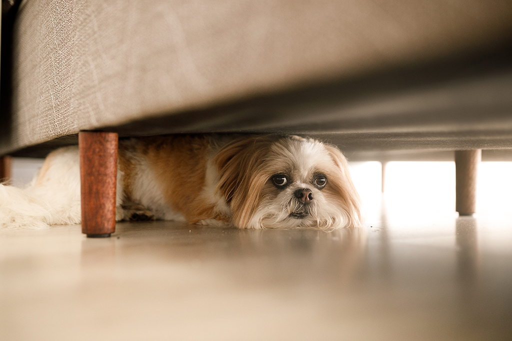 small dog hiding under a couch