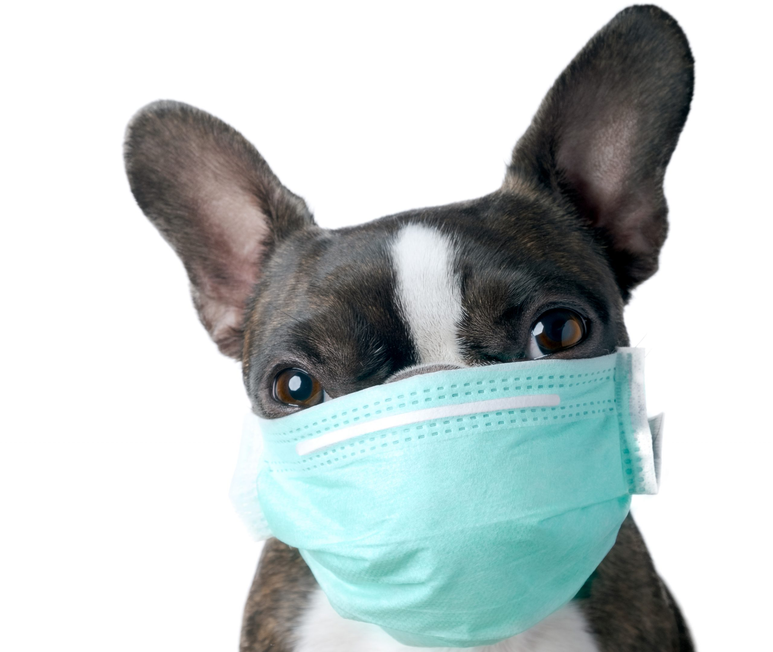 boston terrier wearing a green medical mask
