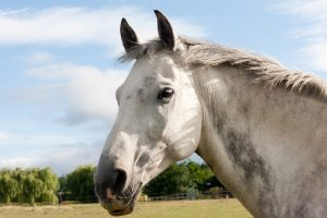 Head shot of beautiful gray horse looking into the distance in the english countryside.