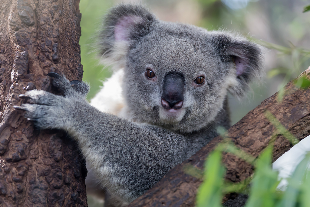 Koala are staring from a tree.