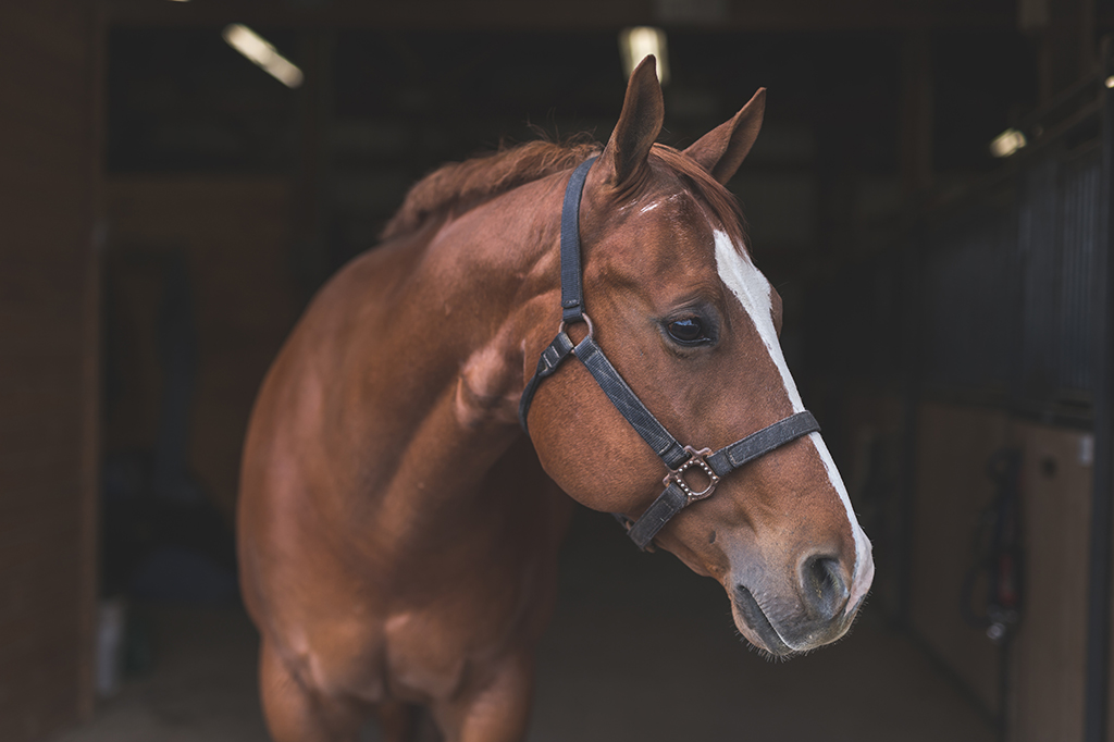 A magnificent horse stands in the barn, patiently waiting to go out. Unlike with strep throat in people, strangles typically doesn't require treatment so much as quarantine and vigilant cleaning of the surrounding environment to prevent the bacterial infection from spreading to other horses.