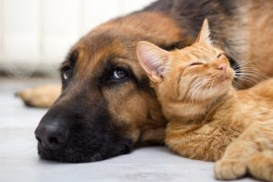 close up, cat and German Shepherd dog together lying on the floor