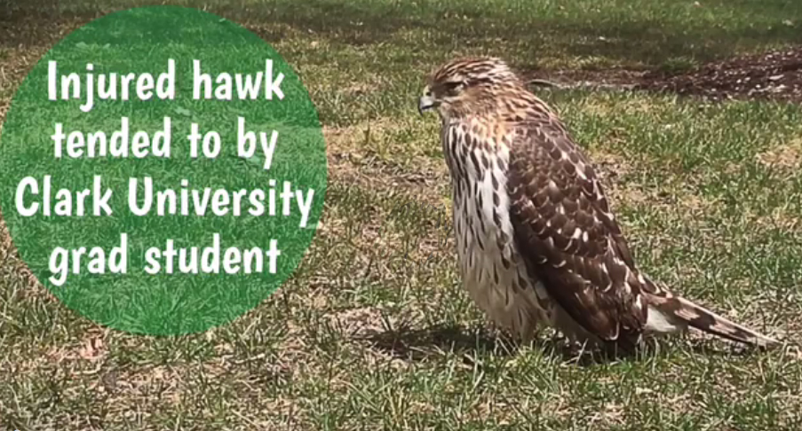 Image for Injured hawk taken to Tufts Wildlife Clinic