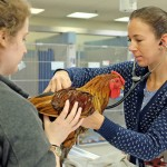 Toe Toe the rooster visited the Foster Hospital for Small Animals.