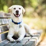 A yellow Labrador Retriever dog smiles as it lays on a wooden bench outdoors on a sunny day.