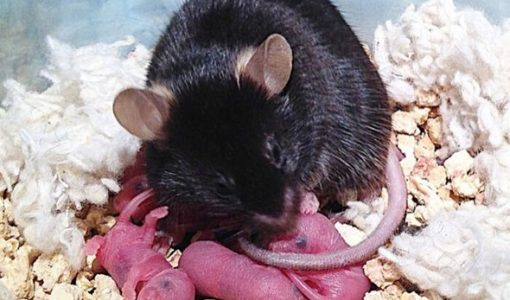 A Command Center in the Mammalian Brain Orchestrates Parenting Behaviors