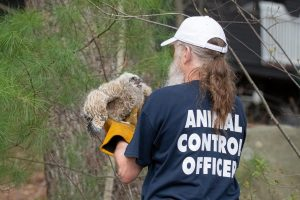 An owlet that fell from it's nest during strong winds being rescued by animal control officer