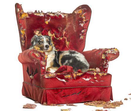 dog laying in a red torn up chair