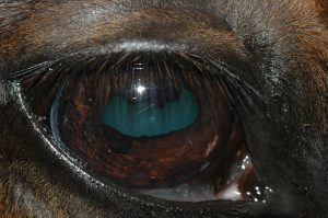 geldings eye after treating cyst with diode laser resulting in immediate deflation