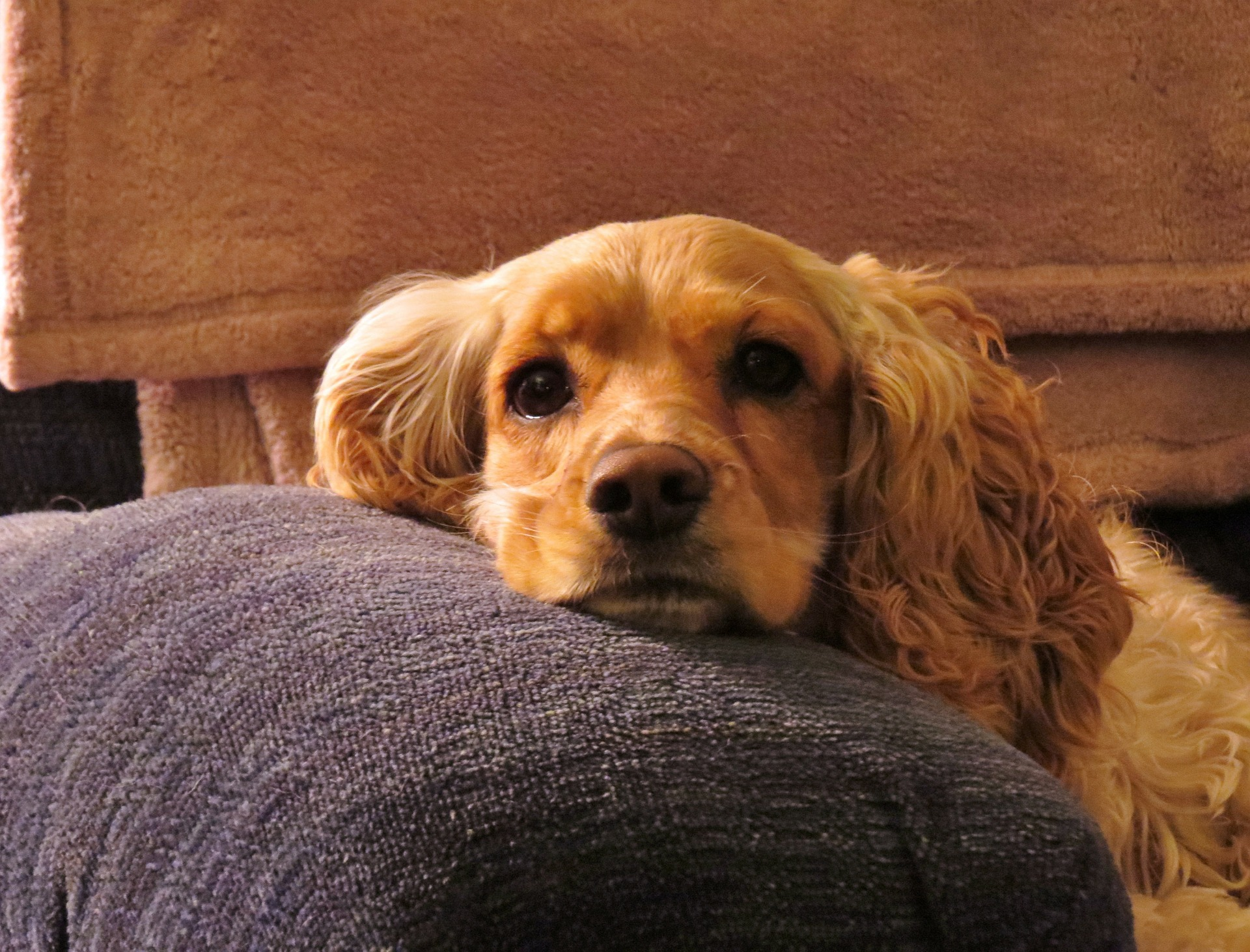 cocker spaniel resting his chin on the arm of a couch