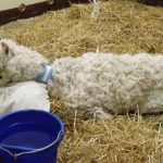 Acute weakness and recumbency in an alpaca.