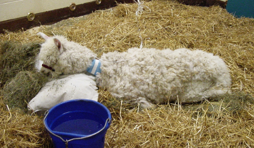 Image for Clinical Case Challenge: Acute Weakness in an Adult Alpaca