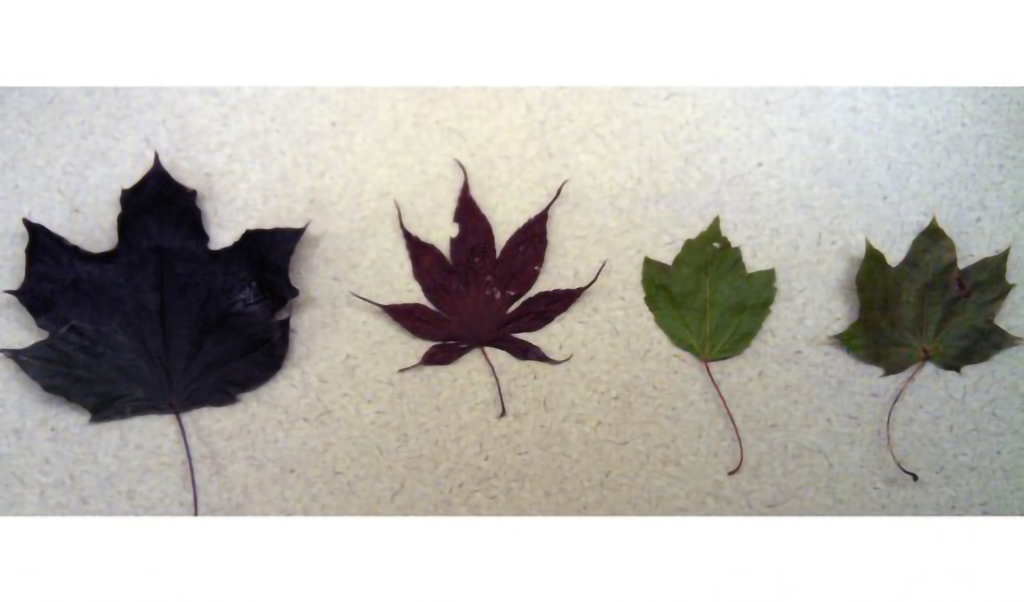 Maple leaves side by side for comparison to deterimine which is the Red Maple leaf