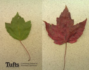 Red maples are green in summer and a brilliant red in fall, and are most distinctive by their serrated edges.