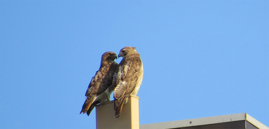 Ruby and Buzz, red-tailed hawks in Cambridge, MA. Photo: Susan Moses