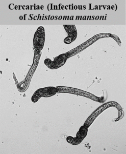The infectious stages of schistosome parasites.