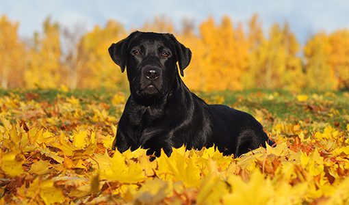 black labrador retriever laying in a pile of yellow fall leaves facing camera