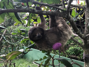 Angie, a three-toed sloth (Bradypus tridactylus) was hit by a train and lost both of her hands. Angie has made an amazing recovery and will hopefully be fit for prosthetics!