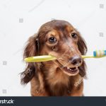 Stock photo of dachshund dog with a toothbrush on a light background