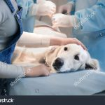 stock photo ill retriever in veterinary clinic
