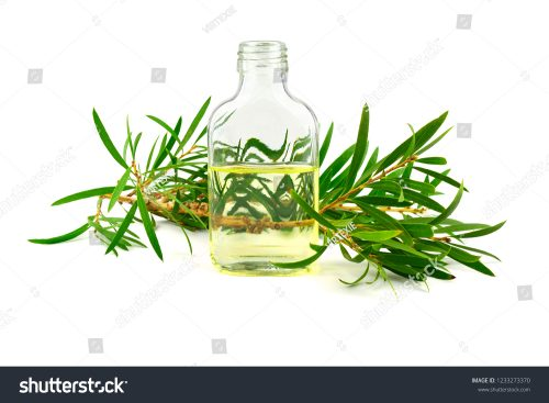 stock photo of tea tree essential oil in a bottle melaleuca isolated on white background